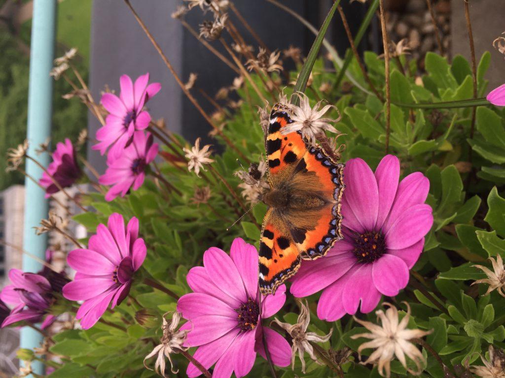 Schmetterling auf sitzt zwischen zwei Blüten