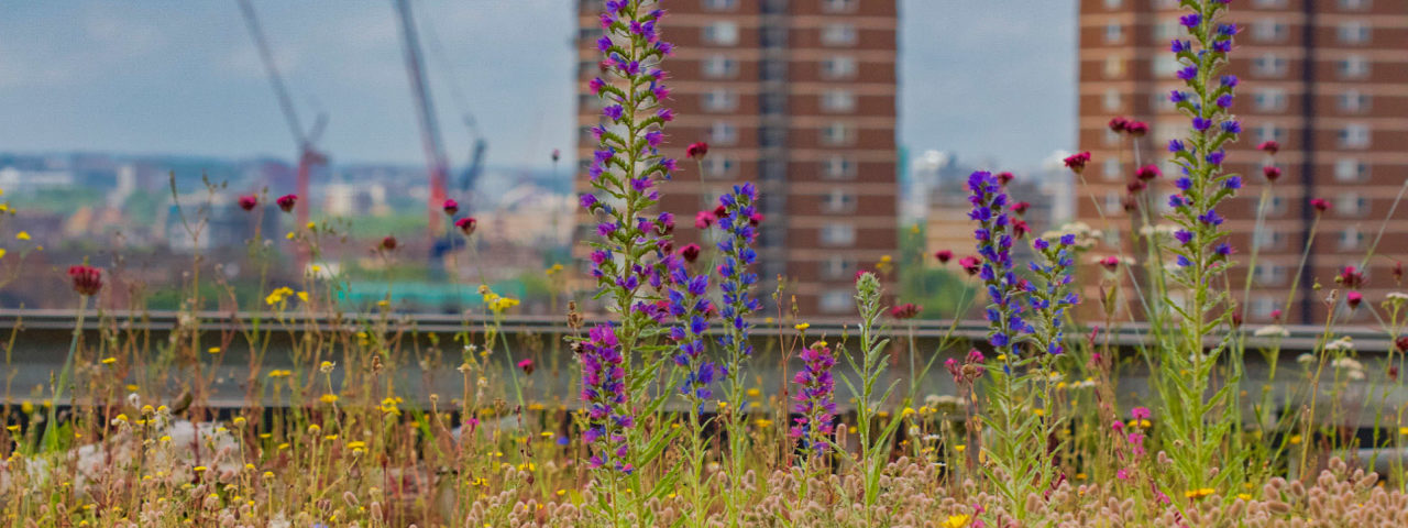 Hohe Blütenstände ragen aus einem semiintensiv begrünten Biodiversitätsdach, im Hintergrund Hochhäuser