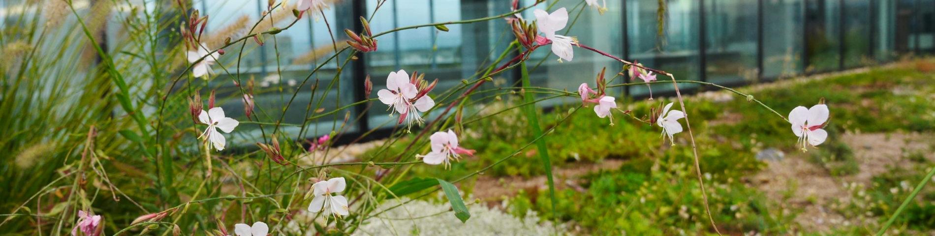 Blüten im Vordergrund vor einem Biodiversitätsdach