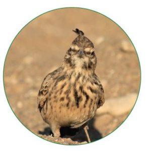 Vogel Haubenlerche