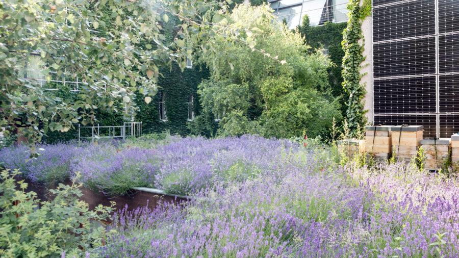 Lavendeldach und Innenhofbegrünung © Anna Fredl