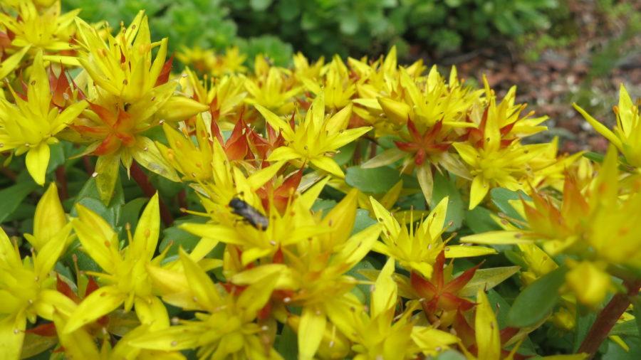 Blüten von Sedum 'Weihenstephaner Gold'